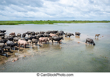 Herd of buffaloes in Thale Noi. Thale Noi means small lake, is protected as a Ramsar wetland since 1998. It is a part of the larger Thale Noi Non-Hunting Area, Songkhla Lake, Phatthalung, Thailand.