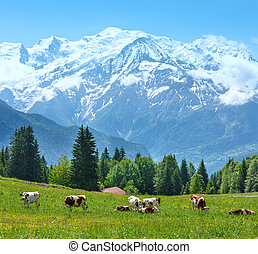 Herd cows on glade and Mont Blanc mountain massif view -...