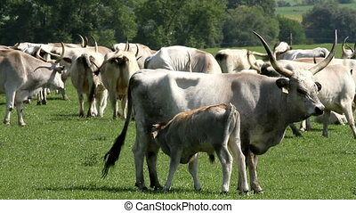 Herd - Hungarian grey bulls family