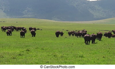herd of African cape buffalos grazing in Ngorongoro Crater...