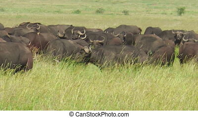 great annual migration of a herd of African cape buffalos grazing in Serengeti National Park of Tanzania in Africa. African buffalo, Syncerus caffer, standing in grassland nature.