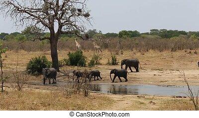 herd of African elephants and giraffes at a muddy waterhole,...