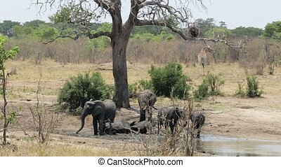 herd of African elephants and giraffes at waterhole, Etosha...