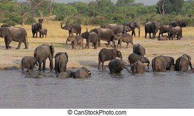 Herd of African elephants at waterh