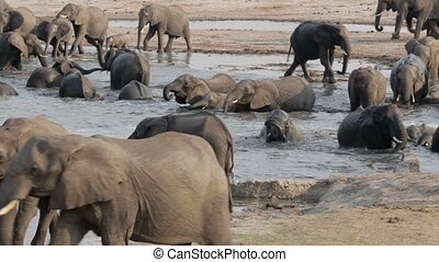 Herd of African elephants at waterh