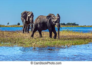 Botswana - Herd of African elephants crossing shallow Delta...