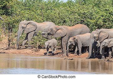 Herd of African Elephants drinking