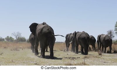 herd of African elephants in africa