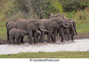 African elephants - Herd of African elephants (Loxodonta ...