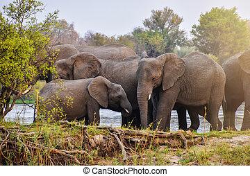herd of african elephants on riverbank