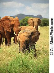 Herd of African elephants