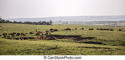 herd of American bison on the move