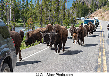 Herd of American Bison walking along the highway in Yellowstone National Park