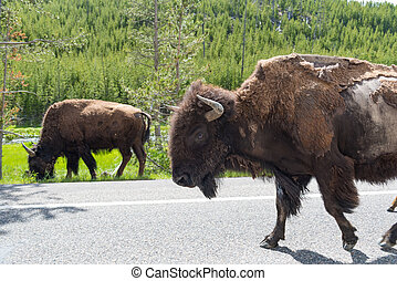 Herd of American Bison walking along the highway in Yellowstone