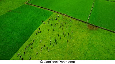 Herd of animal in green field 4k - Aerial of herd of animal...