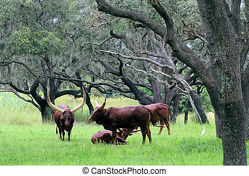 Ankole Watusi cows - Herd of Ankole Watusi cows