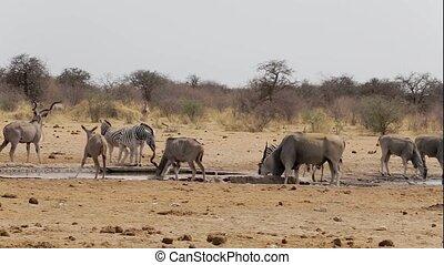 herd of antelope drinking from waterhole