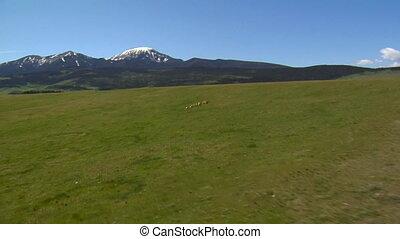 Herd of antelope run across green hillside