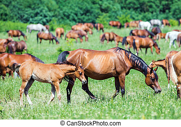 Herd of Arabian horses eating grass