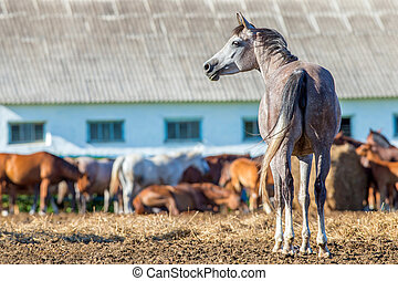 Herd of Arabian horses in paddock