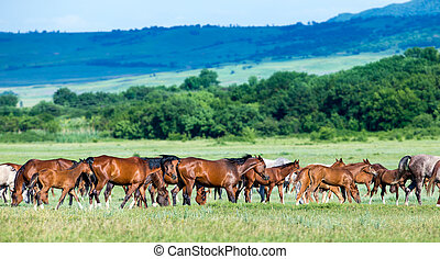Herd of Arabian horses on the field