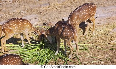 Herd of axis deer, with their distinctive white spots, grazing together in their habitat. 4k stock footage
