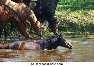 Herd of beautiful horses bathing and drinking water in a summer river
