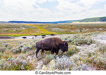 Herd of bison buffalo grazing at Yellowstone National Park