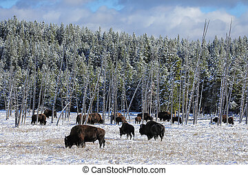 Herd of bison feeding in a snowy field, Yellowstone National Park, Wyoming