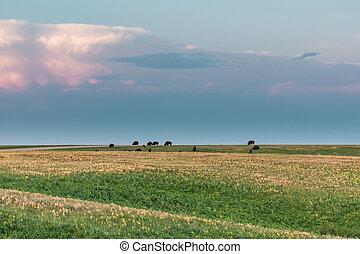 Herd of Bison Grazing in Field