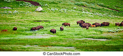 Herd of bison grazing in Yellowstone National Park.