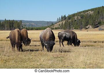 Herd of bison grazing