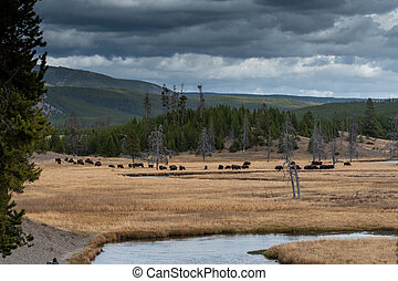 Herd of bison in meadow on fall day