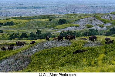 Herd of Bison Migrate Over Rolling Hills in Badlands