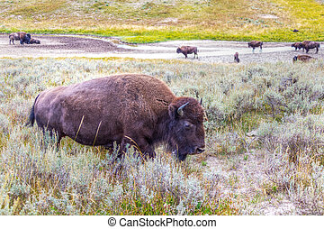 Herd of Bisons Grazing at Yellowstone National Park