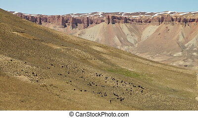 Herd of black animals in the desert - A steady, wide shot of...