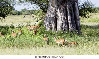 Herd of black-faced impala antelopes (Aepyceros melampus) in...