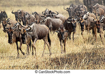 Herd of blue wildebeests during the great migration