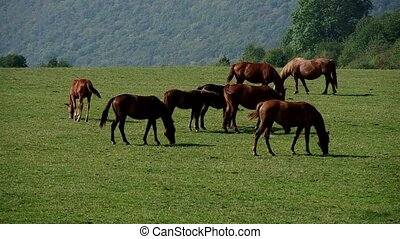 Herd of brown horses