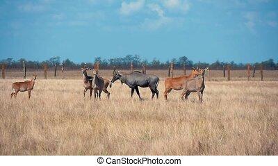 Herd of brown nilgauantelopes grazing grass in Askania-Nova...