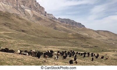 herd of bulls in the mountains in the daytime.