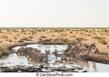 Herd of Burchells zebras drinking water - A herd of...