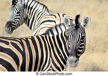 Herd of Burchell?s zebras in Etosha wildpark, Okaukuejo...