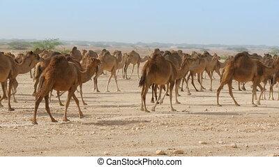 Herd of camels in oman desert - Herd of camels walking in...