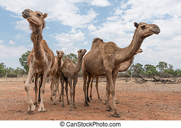 Herd of camels in outback Australia, up close