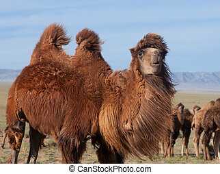 Herd of camels in the steppes of Mongolia.