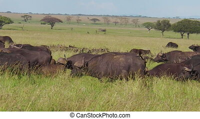 herd of cape buffalos migration in Serengeti