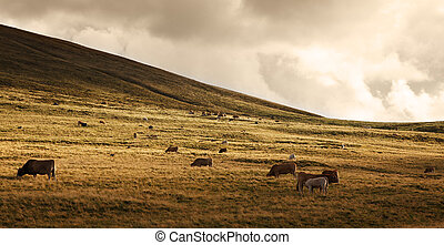 Herd of cattle at sunset - Herd of cattle grazing at high...