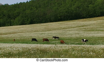 Herd of cattle in a field