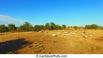 Herd of cattle on field - The top view on herd of cattle in...